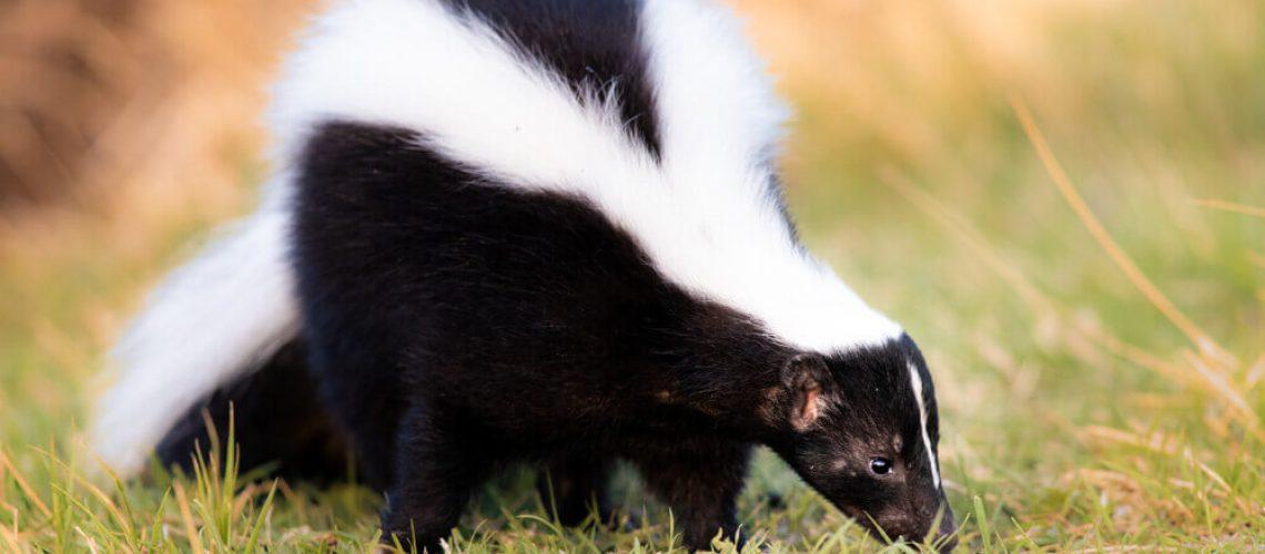 Skunk sniffing grass