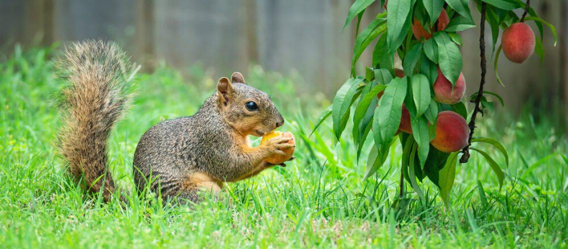 Squirrel eating a peach in a garden