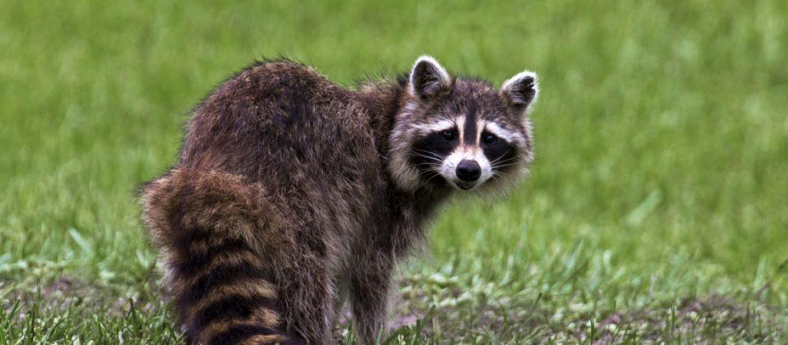 Wild Raccoon Animal Remover