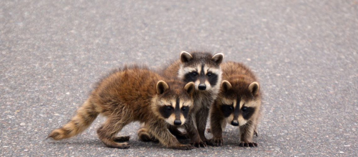 Baby Raccoon In Need of Wildlife Control Service