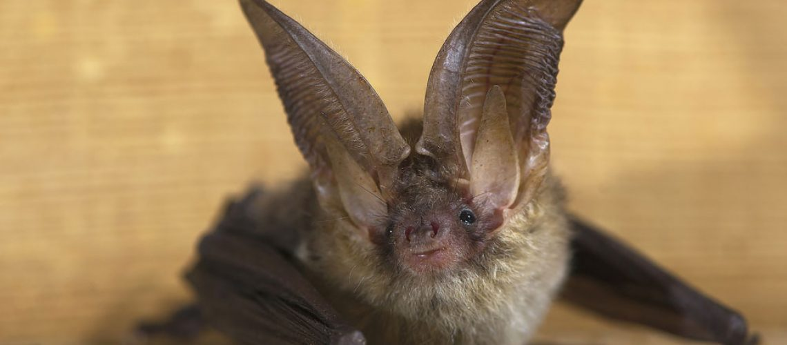 brown bat removal from animal remover