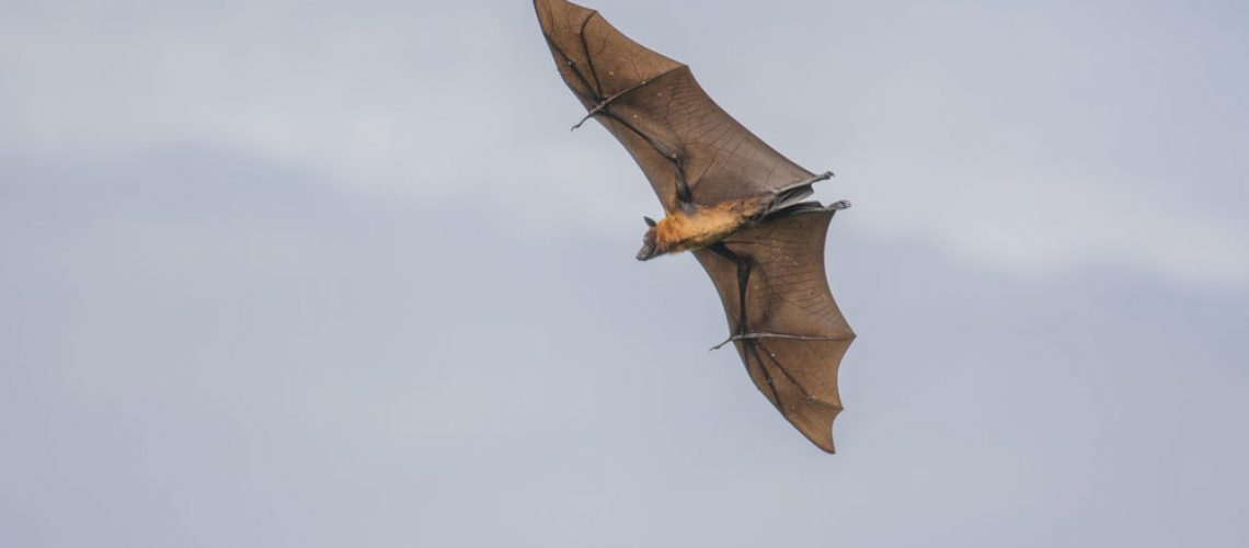 Bat removal concerns for your health