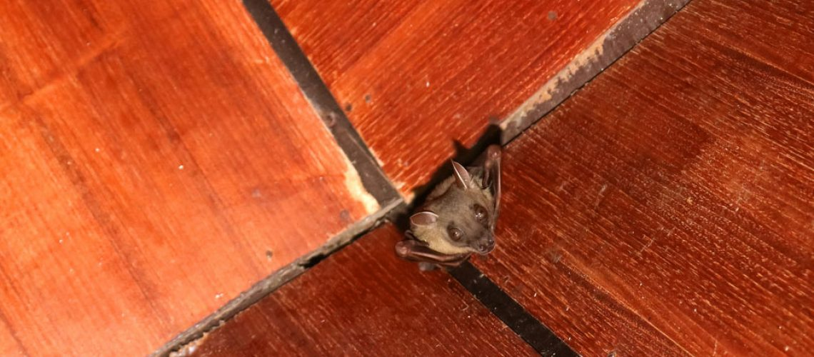 At bat in the ceiling of a home