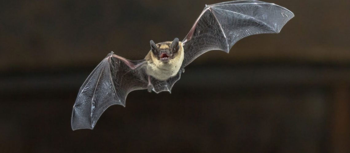 A bat flies against a dark background.