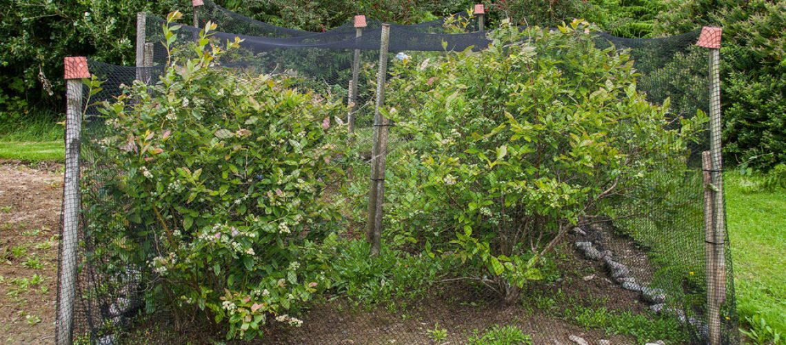 Berry bushes under netting