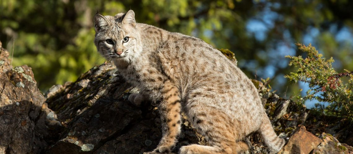 Bobcat dissuaded from trespassing by wildlife control measures.