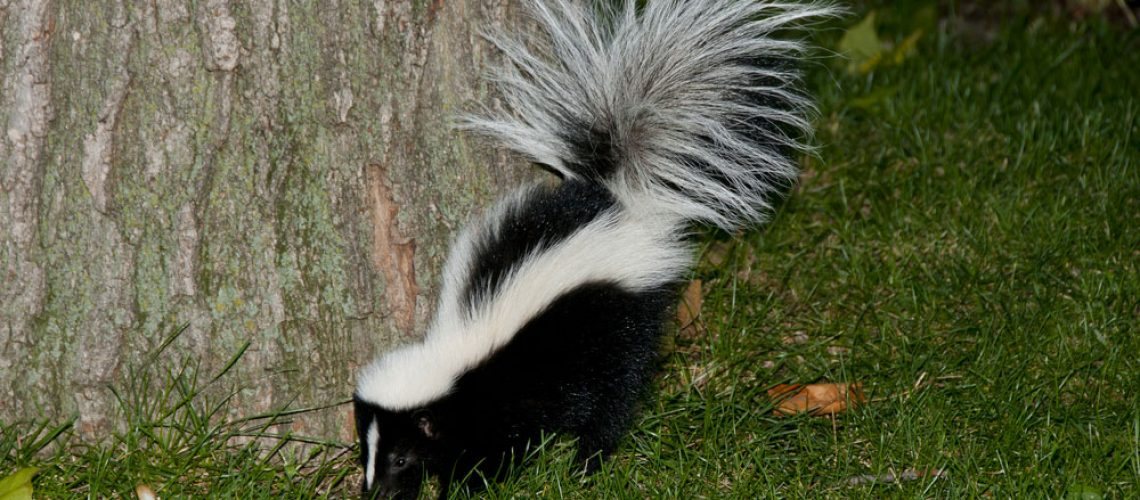 Animal removal protecting yard from skunk