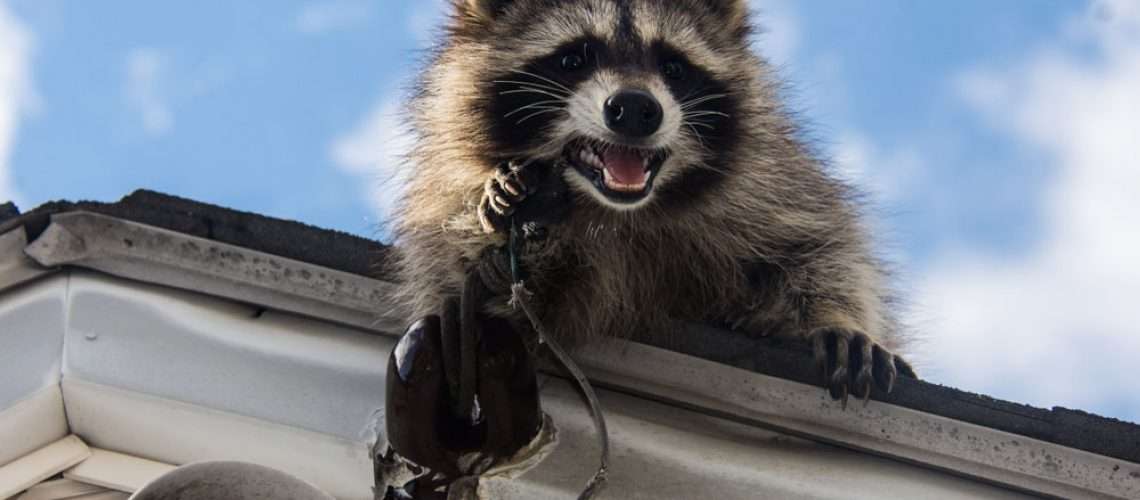 Racoon damaging electrical wiring