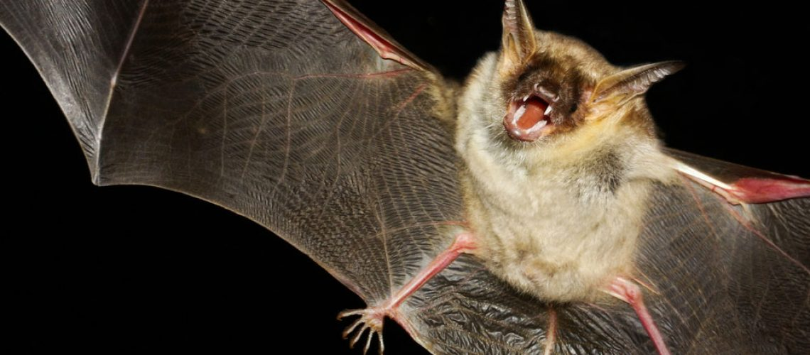 Wildlife control services needed for a bat flying