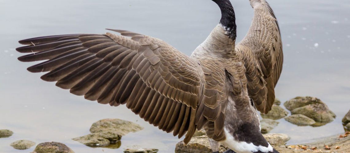 Goose in need to wildlife control service