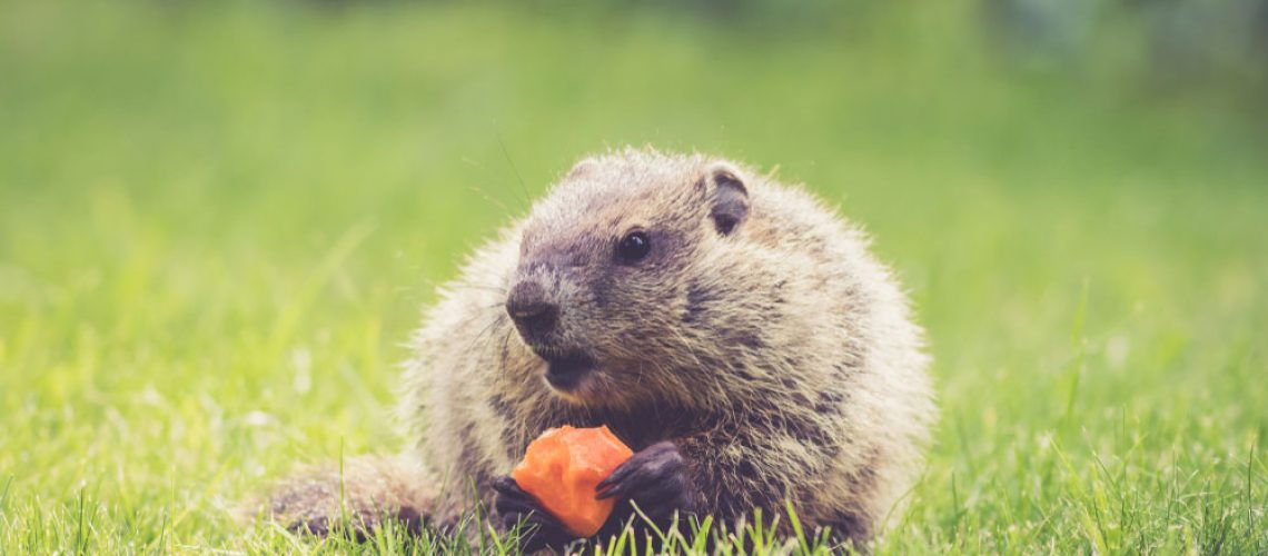 Groundhog with carrot