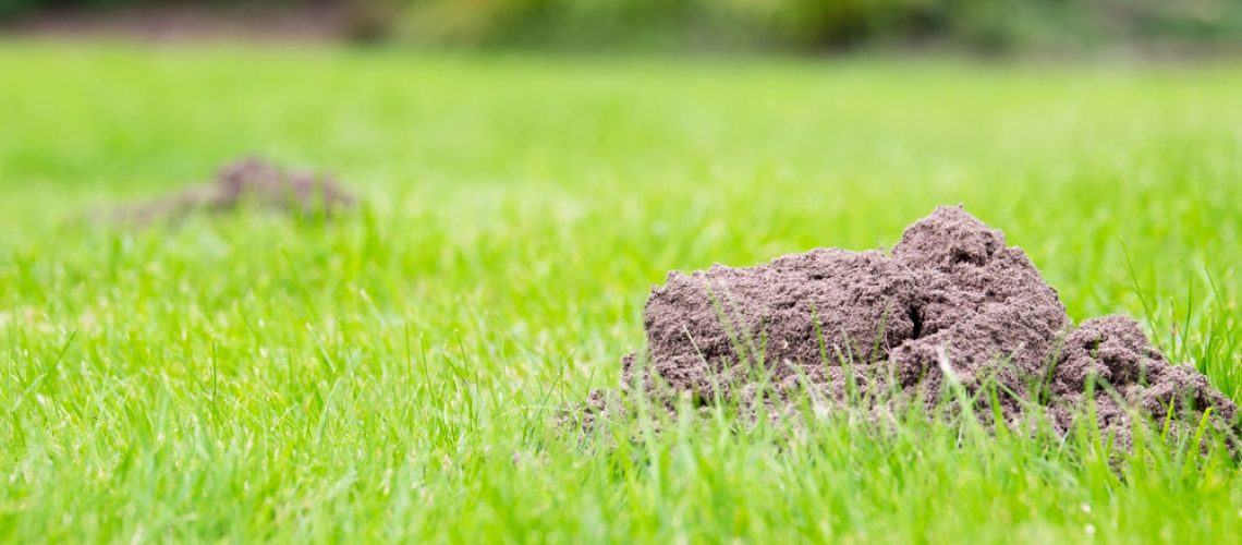 Mole damage to yard could have been prevented with wildlife control