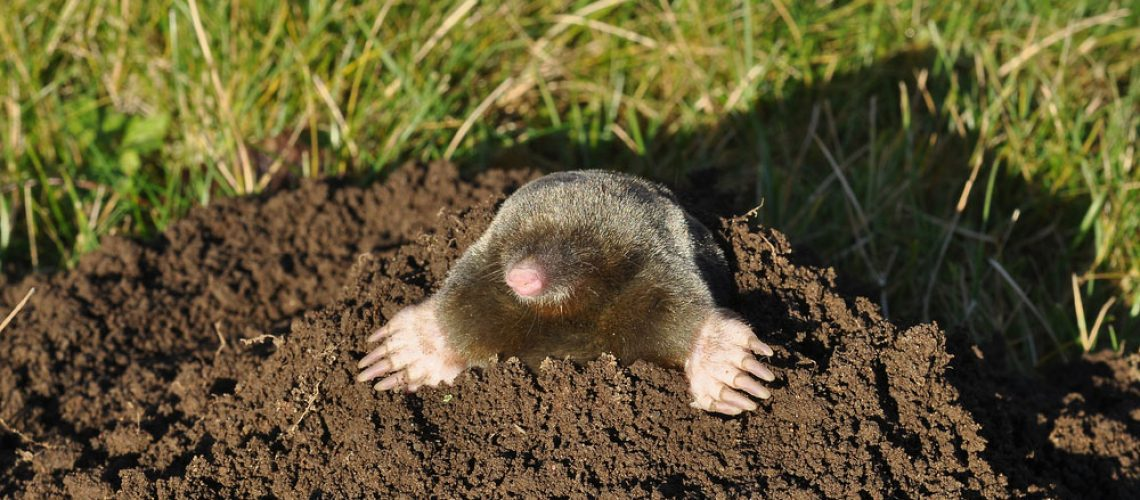 Mole removal service needed in yard