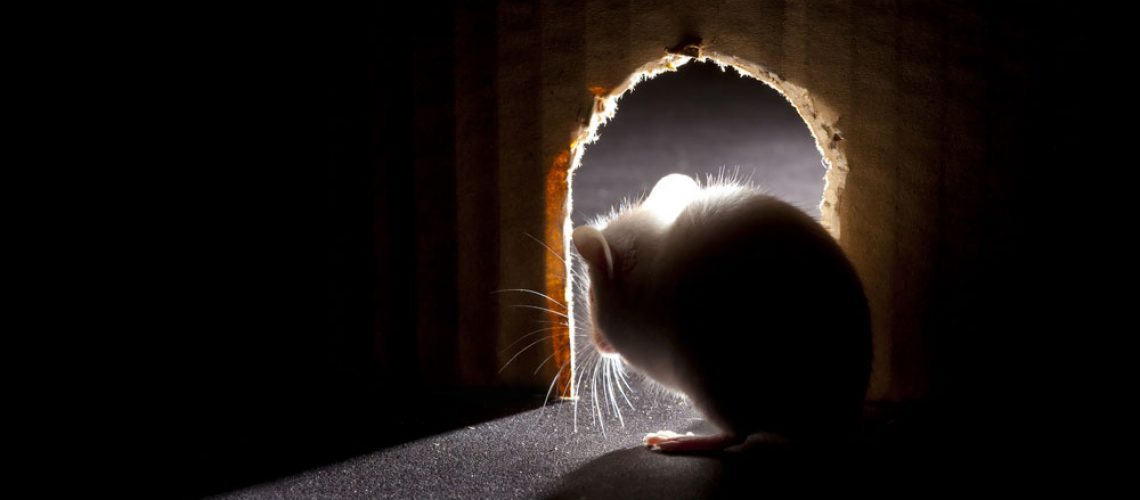 Animal removal needed for mouse looking out of a hole in the wall