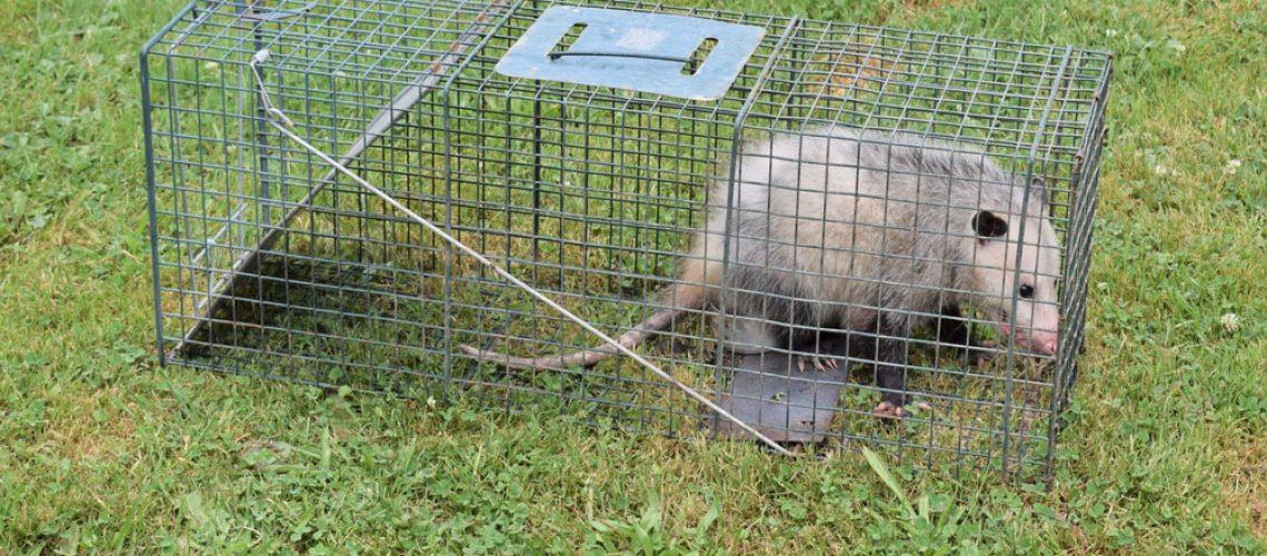 Opossum box trap for animal removal