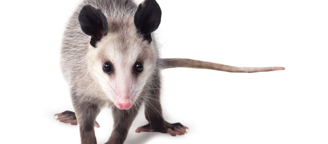 An opossum on a white background.