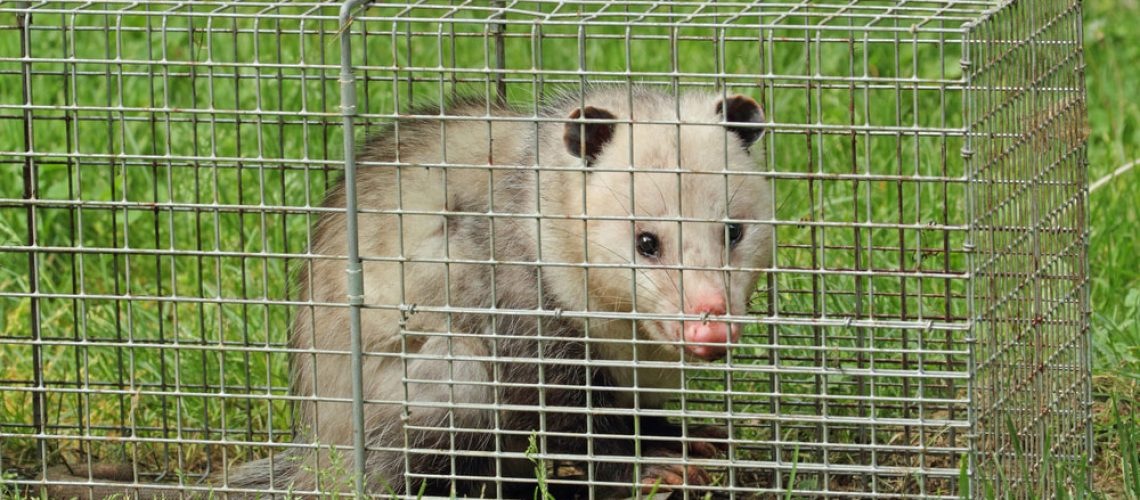 Wildlife control animal trap with opossum