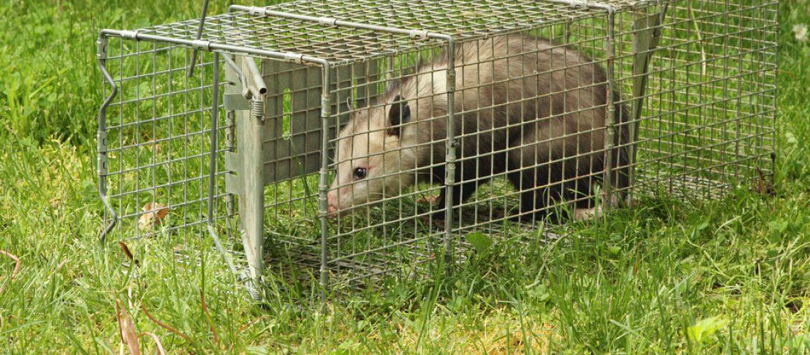 Wildlife control removing opossum in animal trap