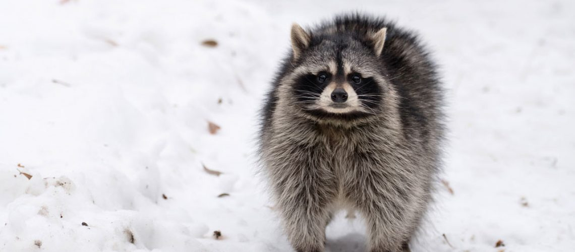 Raccoon in Winter Wildlife Control