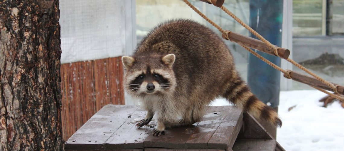 Raccoon transmitting health issues and requiring raccoon removal