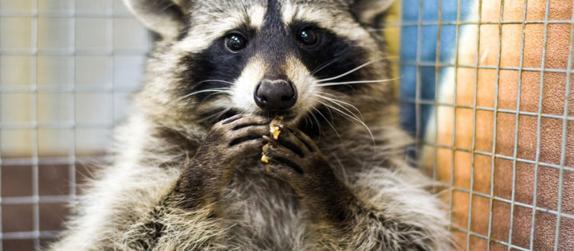 Raccoon removed by Animal Remover
