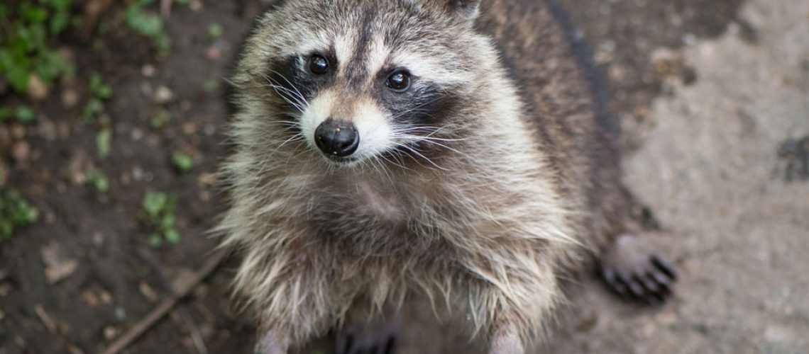 Animal Removal Raccoon Standing