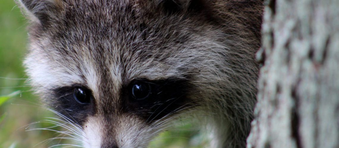 Close-up of raccoon hiding behind a tree