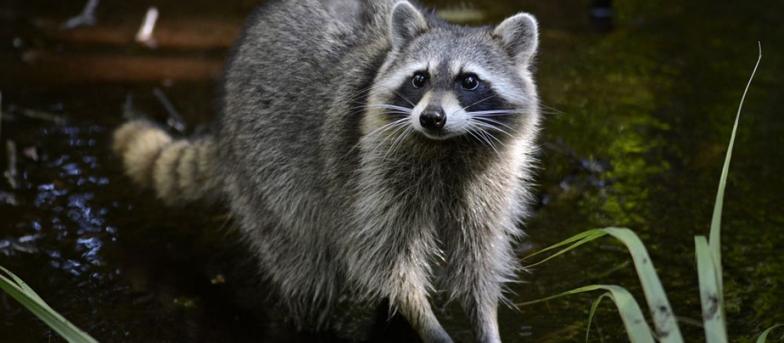 Raccoon removal needed for raccoon in the grass