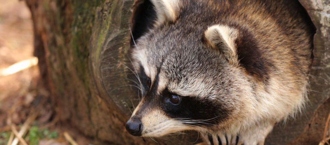 Raccoon removal needed for raccoon in tree
