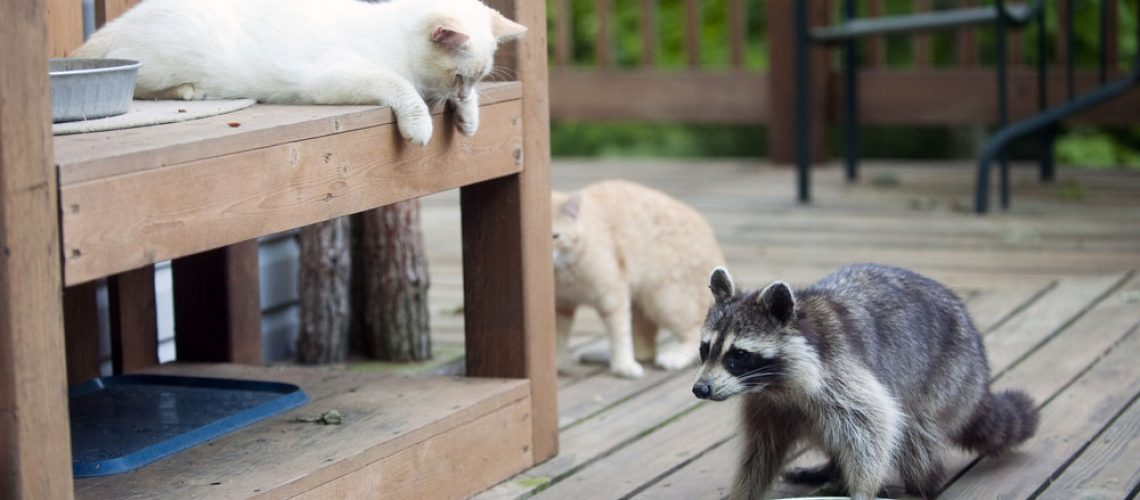 raccoon removal for raccoons on deck