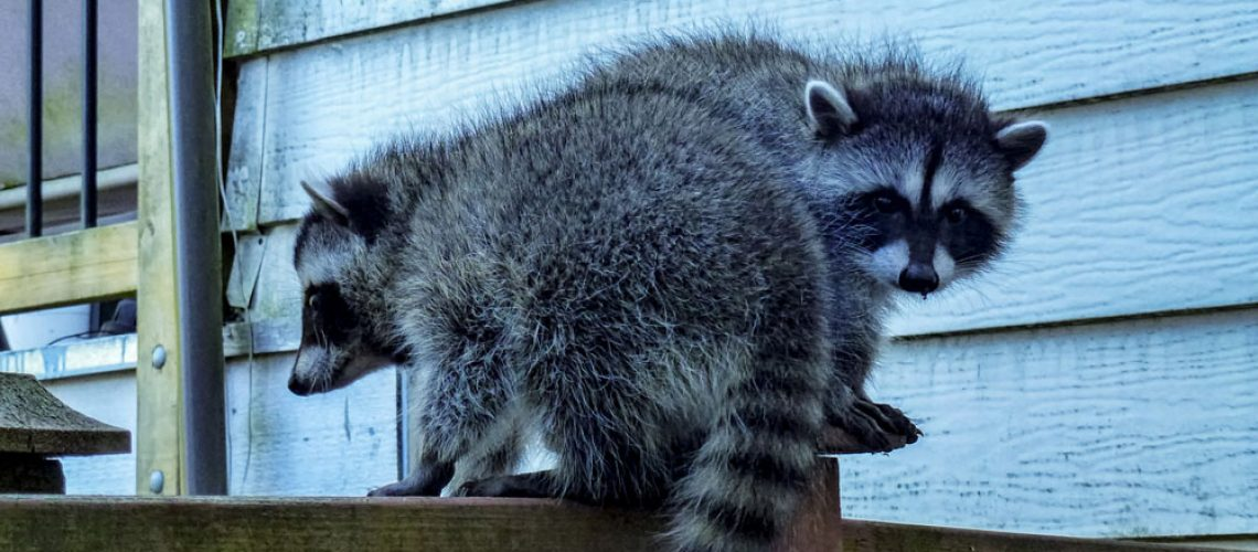 Two raccoons on a fence