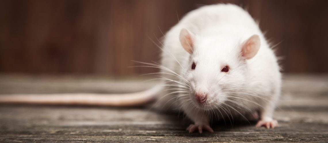 Animal removal for rat in home