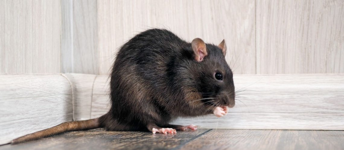 A rat eats a crumb on the floor of a home.