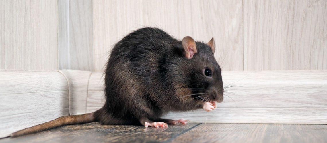 A rat eats a crumb on the floor of a home.