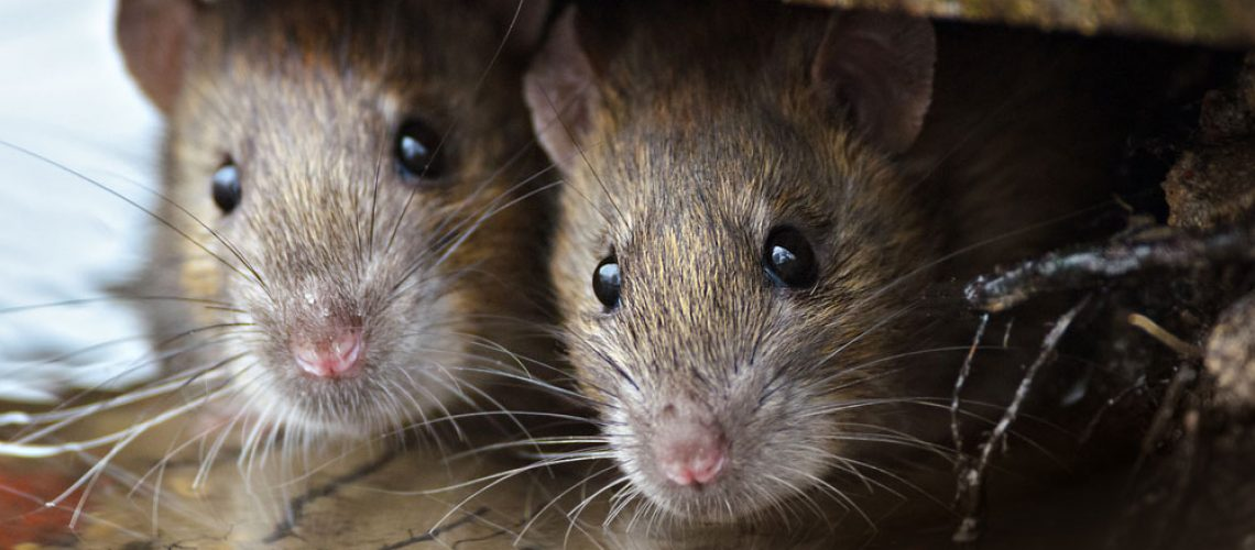 rats and rodents removal