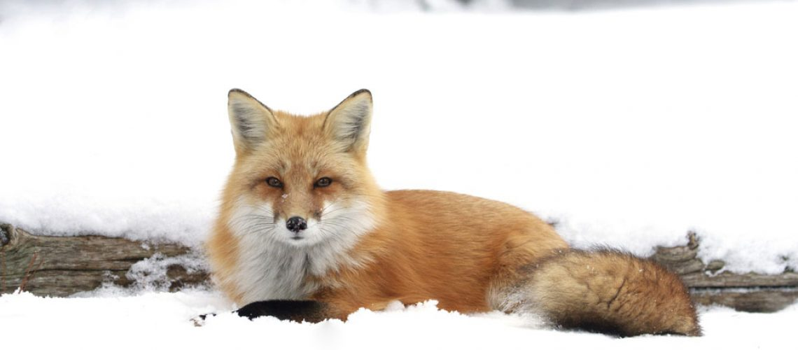 Animal remover for a red fox in the snow