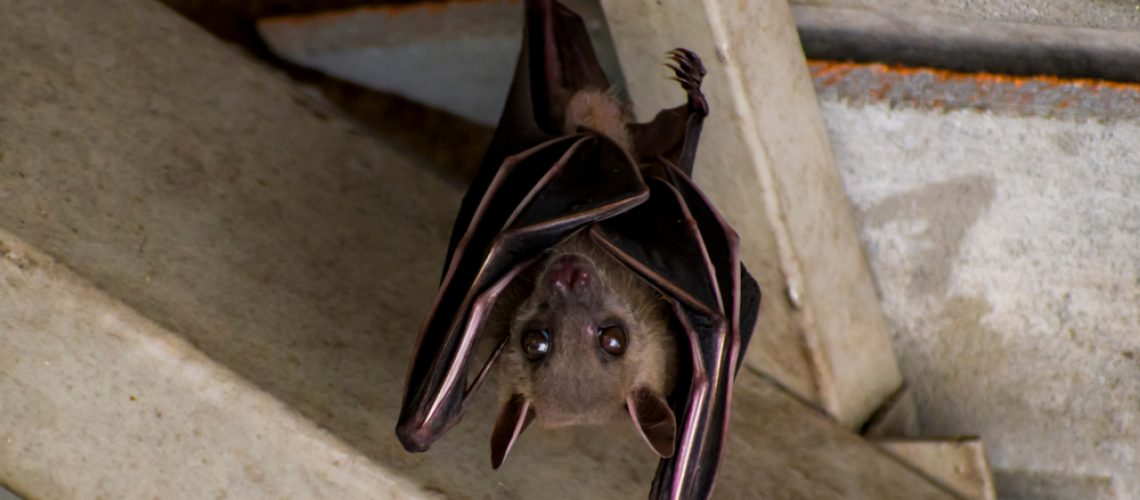 Brown bat hanging from ceiling