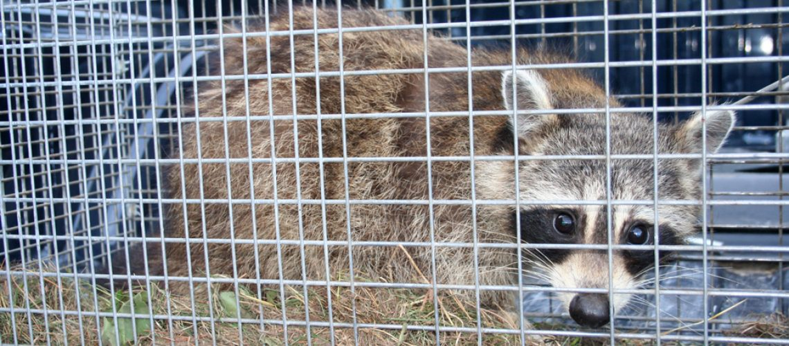 Animal Remover Raccoon Removal Summer