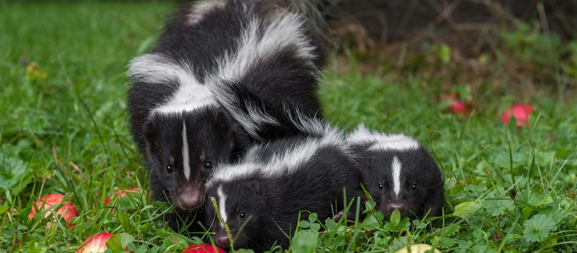 Animal Remover Wild Animal Control Skunk Removal