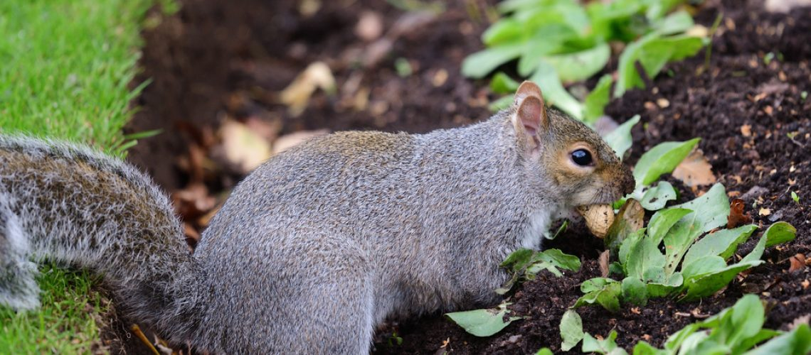 Gray squirrel burying a nut in a flower garden