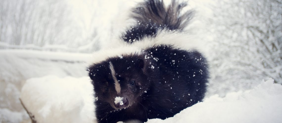 Animal Remover Wild Animal Control Skunk Winter