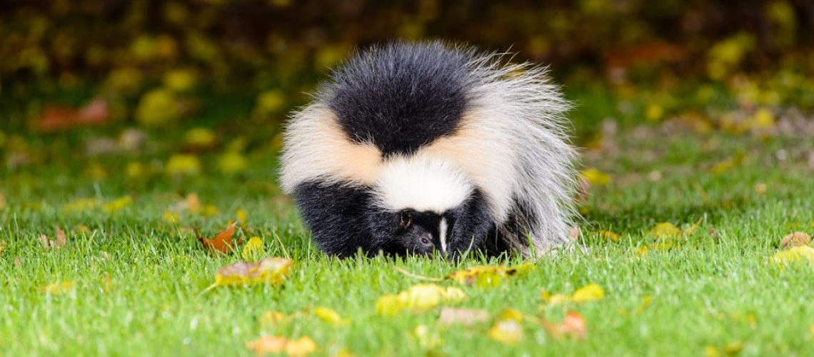Animal Removal Takes Care of This Skunk