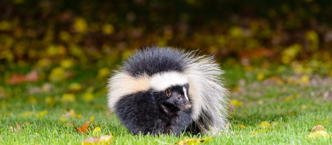 Skunk removal needed for large skunk in a yard