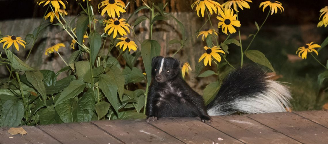 Skunk removal needed for skunk invading a deck