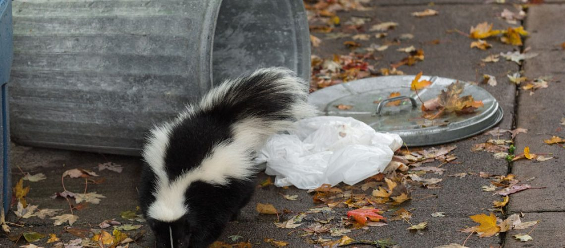 Wildlife control for skunk with rabies