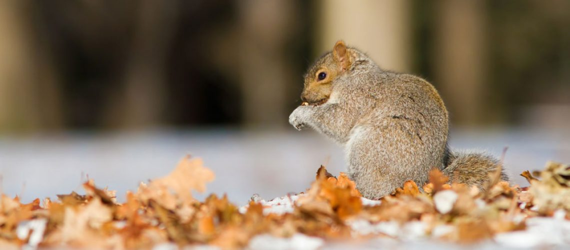 Animal Removal for Squirrels in Winter