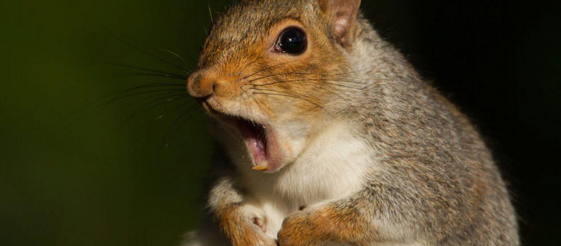 Squirrel removal savings shocks gray squirrel.