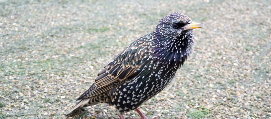 Starlings Removed with Bird Removal Services